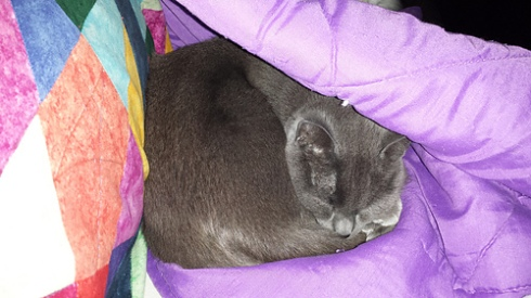 little grey cat snuggled under a purple blanket