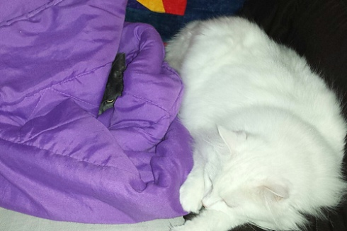 little grey cat in a purple blanket, and a big white cat