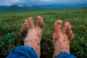 Feet covered with mosquitoes, Alaska's North Slope area.